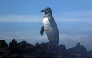 Galapagos Penguin, Santiago Island, Visit the Galápagos