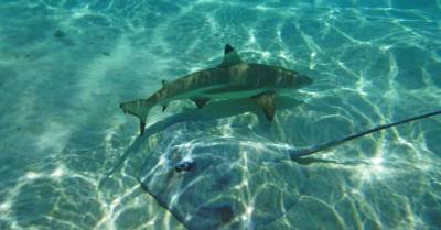 Giant Stingray with Black Tipped Reef Shark, Stingray Reef Shark Snorkel, Moorea