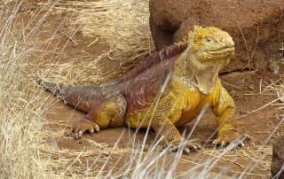 Land Iguana, North Seymour Island, Visit the Galápagos
