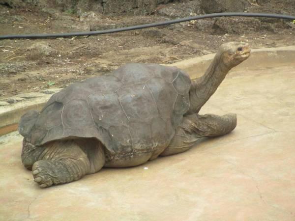 Lonesome George died in 2012, Charles Darwin Research Station, Santa Cruz, Galápagos Land Based Tour