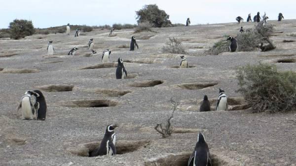 Magellanic Penguin Burrows Nests, Punta Tombo Shore Excursion