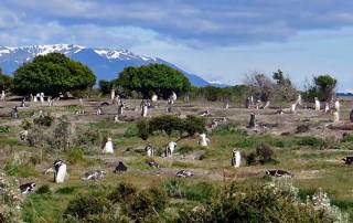 Magellanic Penguin Colony Burrows, Isla Martillo