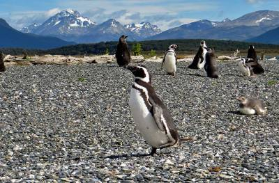 Magellanic Penguin Running, Martillo Island Penguin Colony