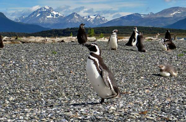 Magellanic Penguin Running, Martillo Island Penguin Colony
