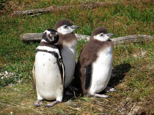 Magellanic Penguin with Two Molting Young, Martillo Island Penguin Colony