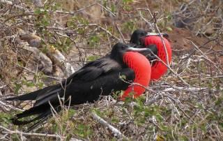 Male Frigate Birds, North Seymour Island, Visit the Galápagos