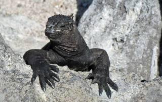 Marine Iguana, Isla Lobos, San Cristobal Island, Visit the Galápagos