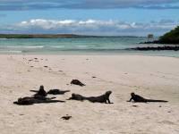 Marine Iguanas, Tortuga Bay, Santa Cruz Island, Puerto Ayora Visit