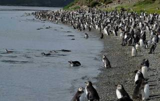 Martillo Island Penguin Magellanic Colony