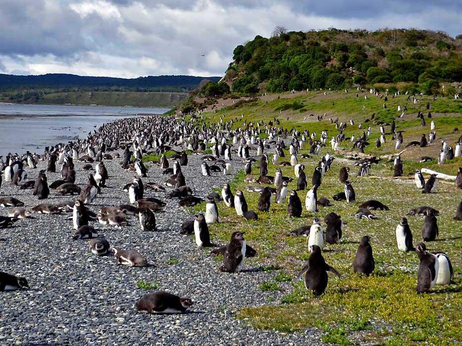 Martillo Island Penguin Colony
