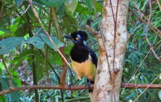 Plush Crested Jay, Iguazú Falls Argentina Visit