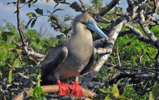 Red Footed Booby, Genovesa Island, Visit the Galápagos