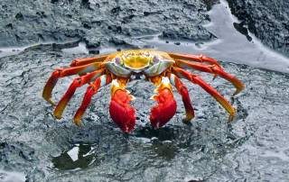 Sally Light Foot Crab, North Seymour Island, Visit the Galápagos