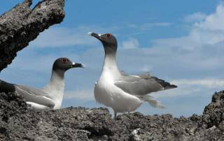 Swallow Tailed Gulls, Genovesa Island, Visit the Galápagos