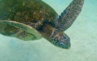 Turtle, Isabela Island, Visit the Galápagos