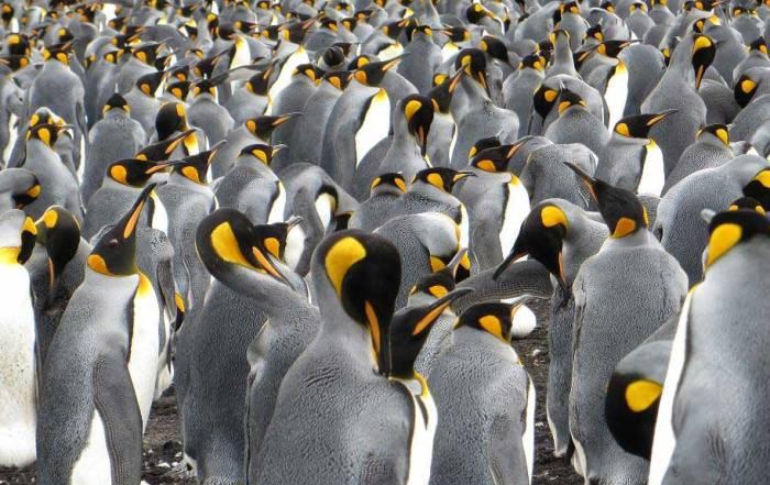 Volunteer Point Shore Excursion King Penguins
