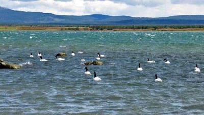 Black Necked Swans, Pacific Ocean, Visit Puerto Natales