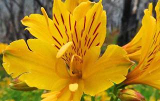Yellow Flower, Hiking Torres del Paine W Circuit Trek