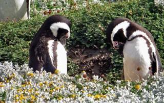 Grooming Magellanic Penguins, Otway Penguin Colony
