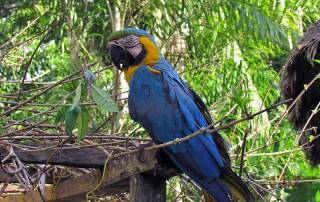 Macaw Mascot, Tambopata Eco Lodge