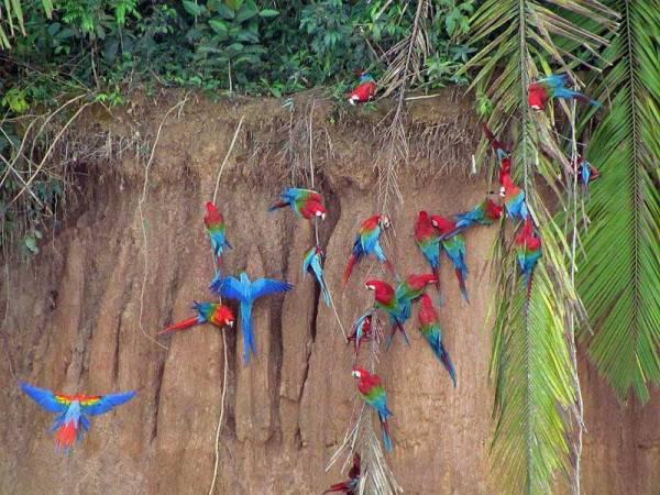 Macaws, Collpa Chuncho Clay Lick