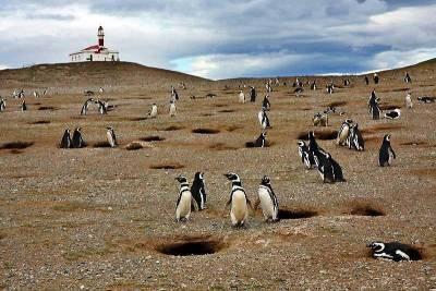 Magellanic Penguins, Magdalena Island, Visit Punta Arenas