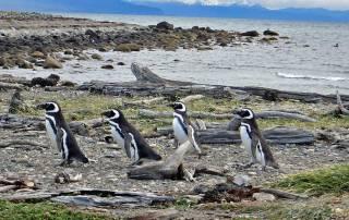 Magellanic Penguins returning to Nesting Area, Otway Penguin Colony