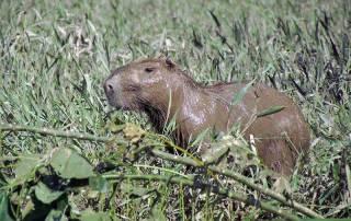 Muddy Capybara Rodent, Tambopata River Adventure