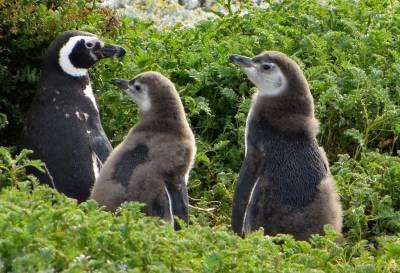 Newborn Magellanic Penguins, Otway Penguin Colony