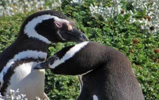 Magellanic Penguin Pairs, Otway Penguin Colony