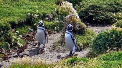 Nesting Pathway, Otway Penguin Colony