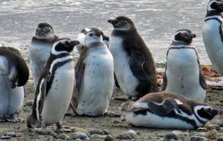 Beachfront Lounging, Otway Penguin Colony