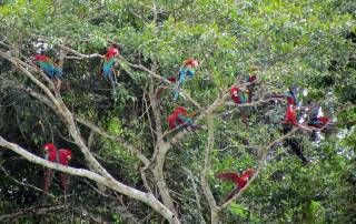 Red and Green Macaws, Chuncho Clay Lick