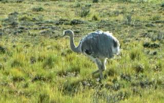 Rhea near Otway Penguin Colony
