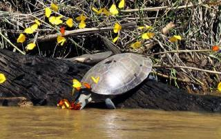 River Turtle, Butterflies, Tambopata River Adventure