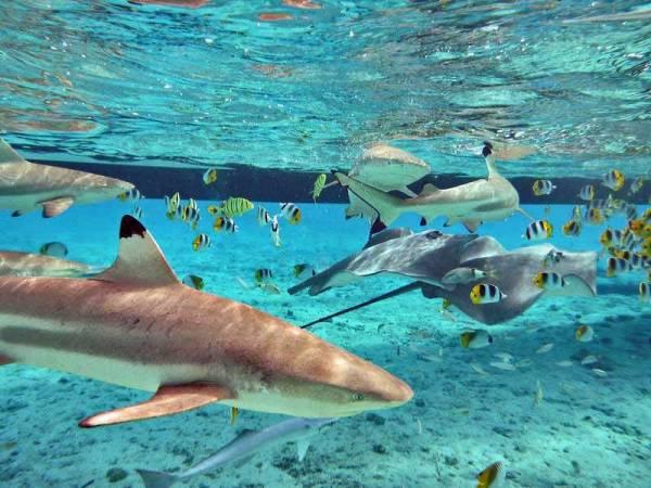 Snorkel with Sharks & Stingrays, Visit Bora Bora Lagoon