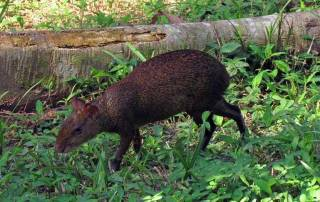 Wild Agouti, Tambopata Eco Lodge