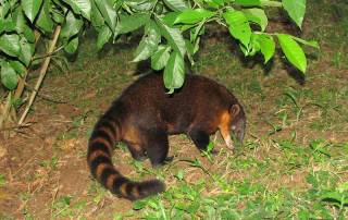Wild Coati, Tambopata Eco Lodge