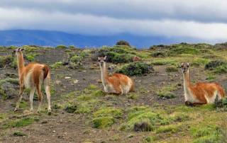 Wild Guanacos, Hiking Torres del Paine W Circuit Trek