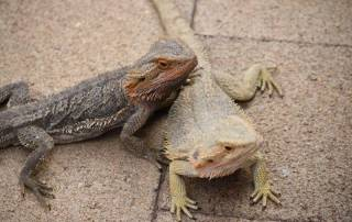 Bearded Dragons, Alice Springs Reptile Centre, Visit Red Centre