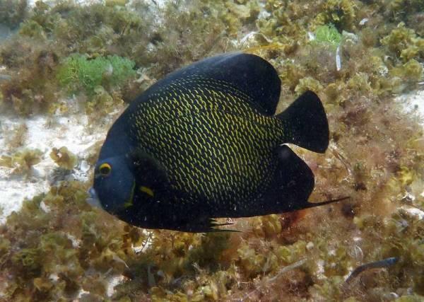 French Angelfish, Punta Sur Reef Snorkel, Cozumel Tour