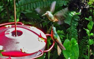 Hummingbirds, Mindo Cloud Forest
