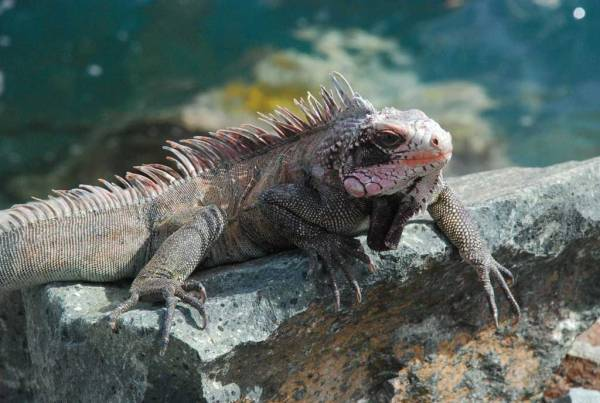 Iguana, Harbor, Charlotte Amalie, St Thomas, Visit the U.S. Virgin Islands