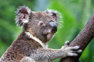 Koala, Visit Sydney, Australia