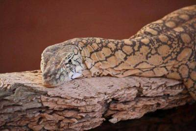 Perentie Monitor, Alice Springs Reptile Centre, Visit Red Centre