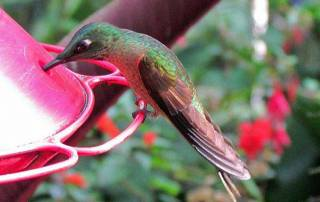 Rufus Hummingbird, Mindo Cloud Forest