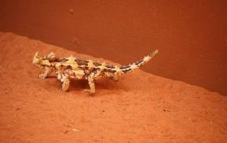 Thorny Devil, Alice Springs Reptile Centre, Visit Red Centre