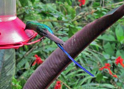 Violet Tailed Sylph, Mindo Cloud Forest