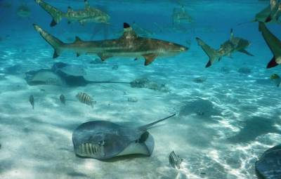 Black tipped Reef Sharks, Stingrays, Moorea Snorkel