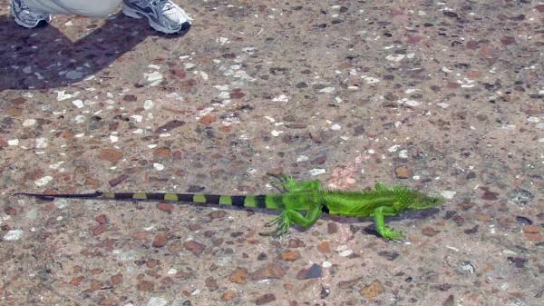 Lizard at Casa Blanca, Old San Juan, Puerto Rico